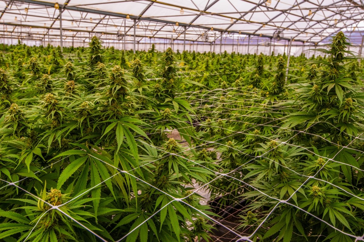 cannabis industry trends